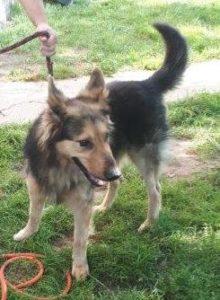 Pies podobny do owczarka niemieckiego szuka domu